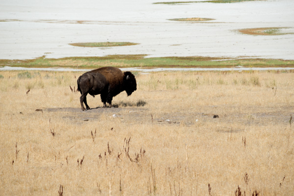 Buffalo at Antelope Island, Utah