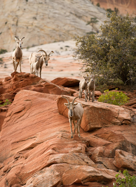 Mountain Goats at Zion National Park, Utah